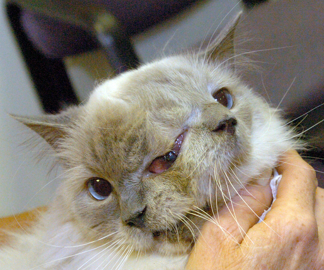 Two Faced Cat Dies