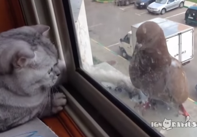 大胆不敵なハトとやる気がない猫