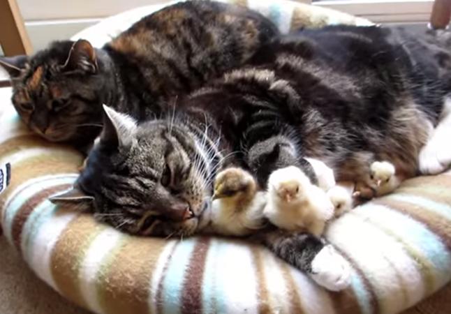 モフモフ猫とひよこ
