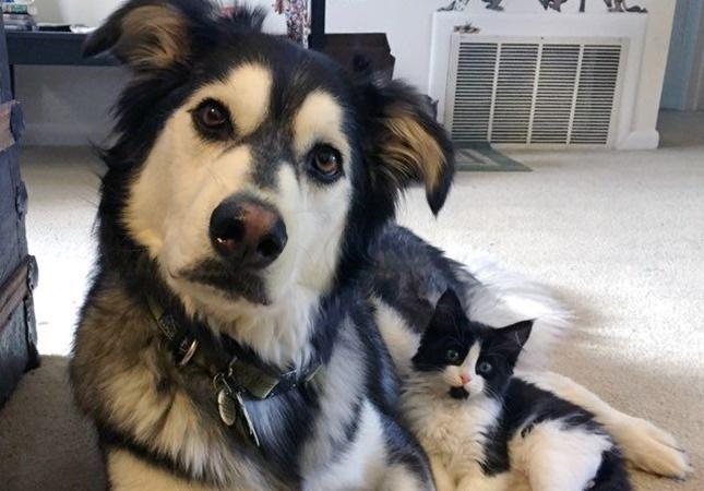 双子みたいな白黒猫とハスキー犬