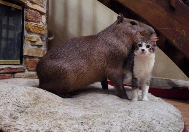 カピパラと猫
