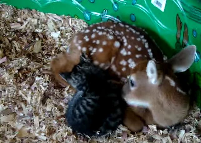 子鹿に甘える子猫