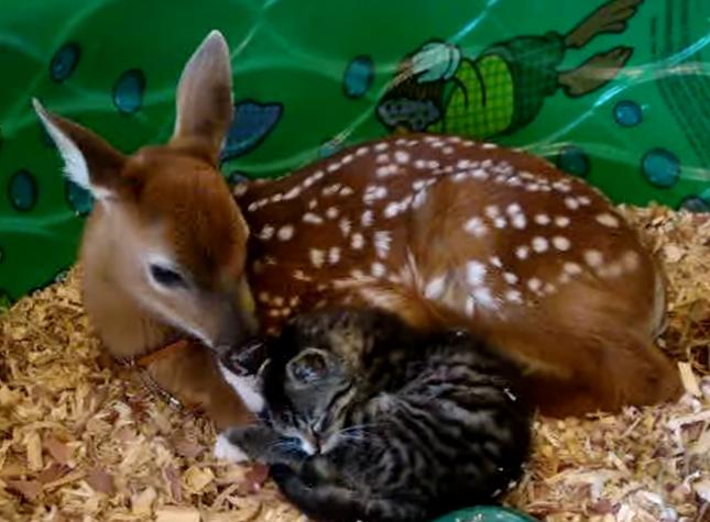 子猫を毛づくろいする優しい子鹿