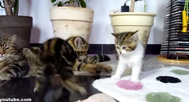 戦う子猫を冷めた表情で見守る母猫