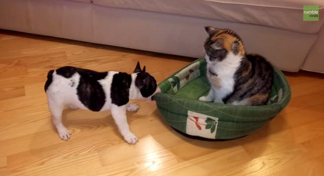 引っ張ってベッドは自分の物だと主張する犬