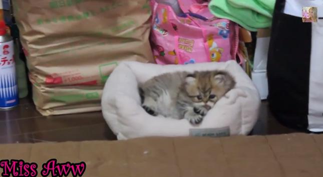 ベッドでくつろぐ子猫