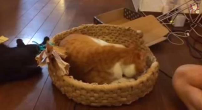 作成途中の猫ちぐらでくつろぐ猫