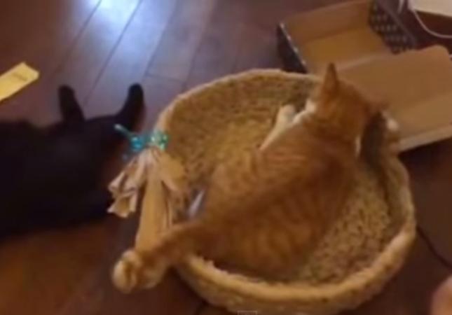 猫ちぐらを好きすぎる猫