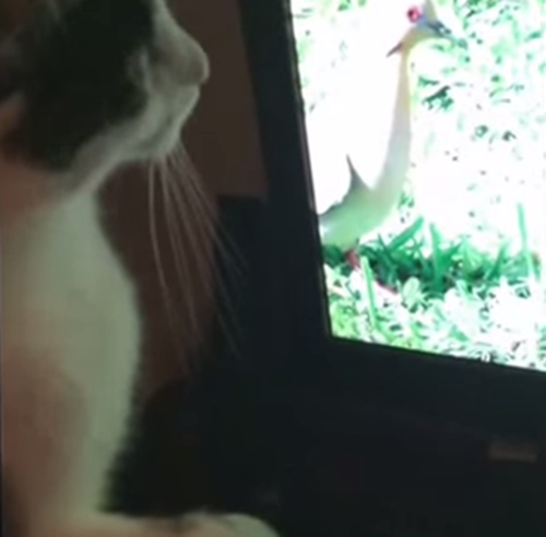 猫用動画に興味津々な猫
