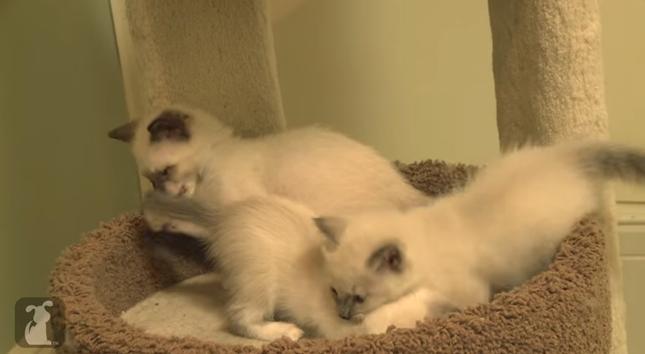 シャム猫3兄弟