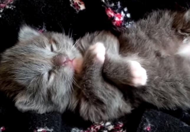 寝ながら動く子猫