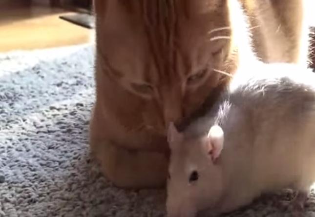 猫もねずみを毛づくろい!