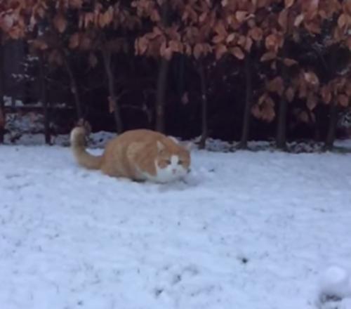 雪待ちの猫