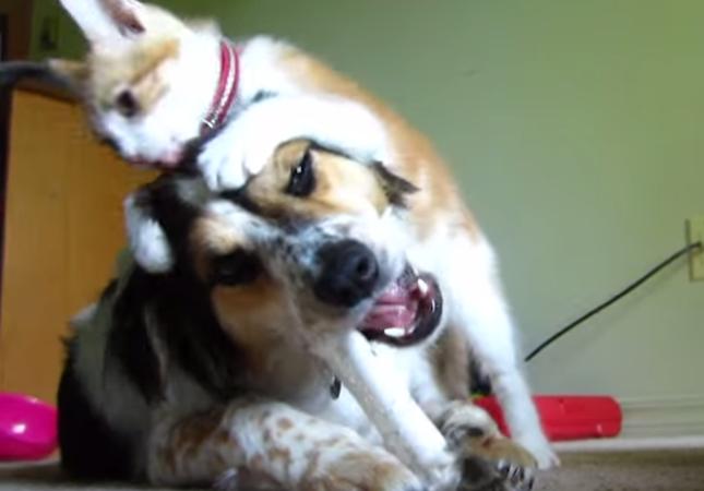 骨のおもちゃに夢中な犬をいいことに好き放題やる子猫。