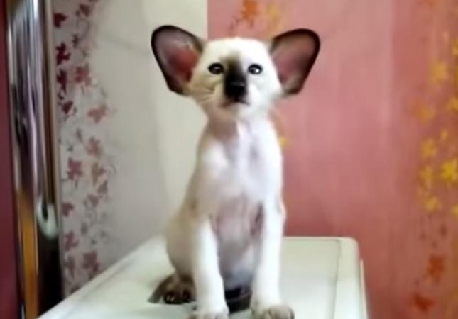 コアラそっくりな不思議猫。