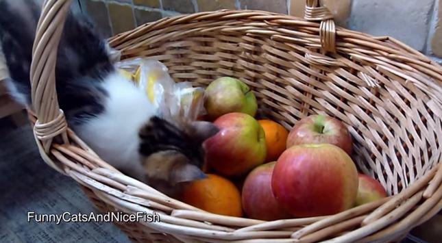 フルーツバスケットにやってきた子猫