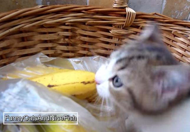 バナナをがぶっといく子猫
