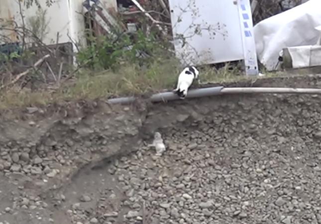 子猫を崖から救助する母猫