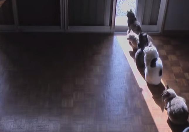 一列に並ぶひまわりのような猫達。