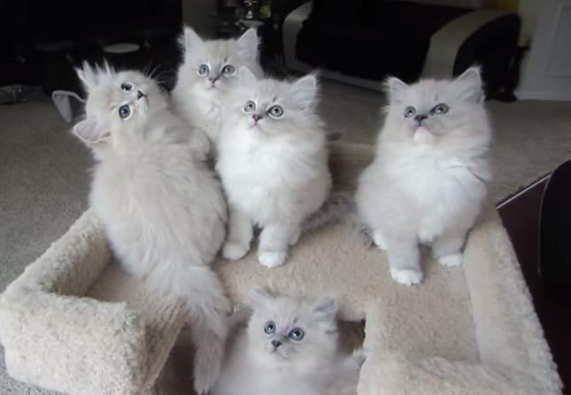 ラグドールのふんわり子猫達。
