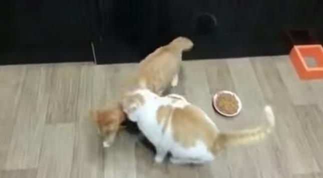 体を入れてガードするチャトラ猫