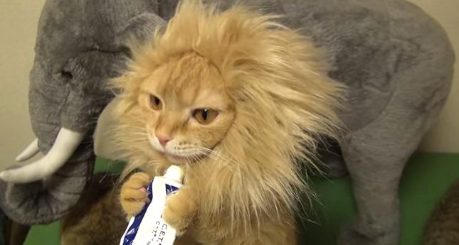 食事を取る猫ライオン。