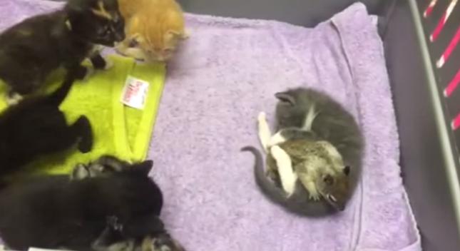 子猫たちと仲良く遊ぶ赤ちゃんリス。