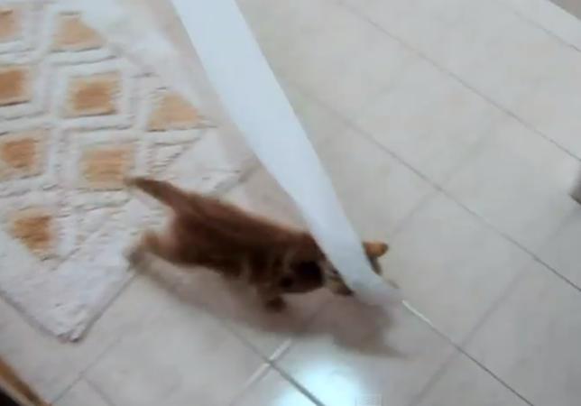 トイレットペーパーにハマった子猫