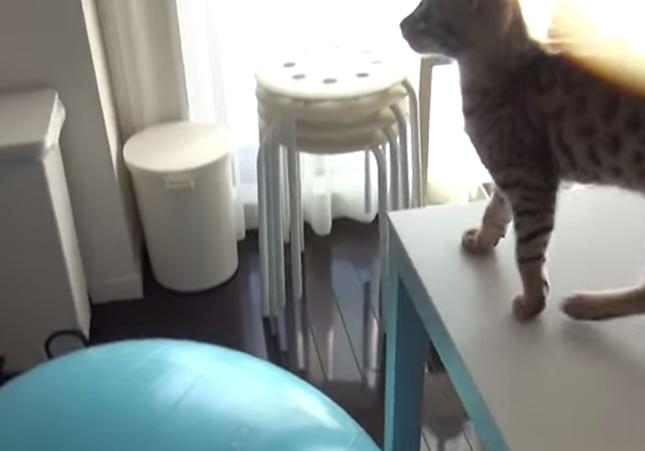 キッチンを見つめる猫。