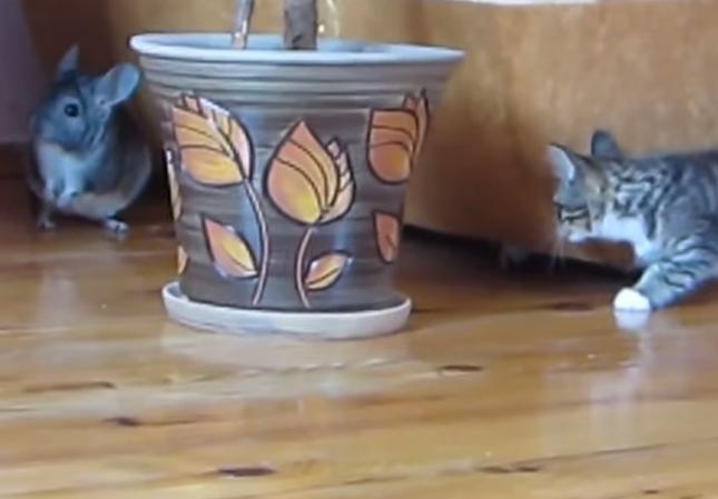 子猫とチンチラ。