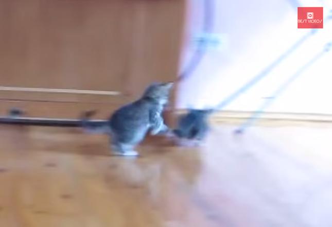 チンチラを追いかける子猫。