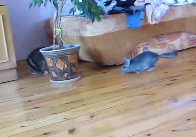 子猫を追いかけるチンチラ。