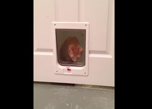 動物用ドアを見つめる猫。