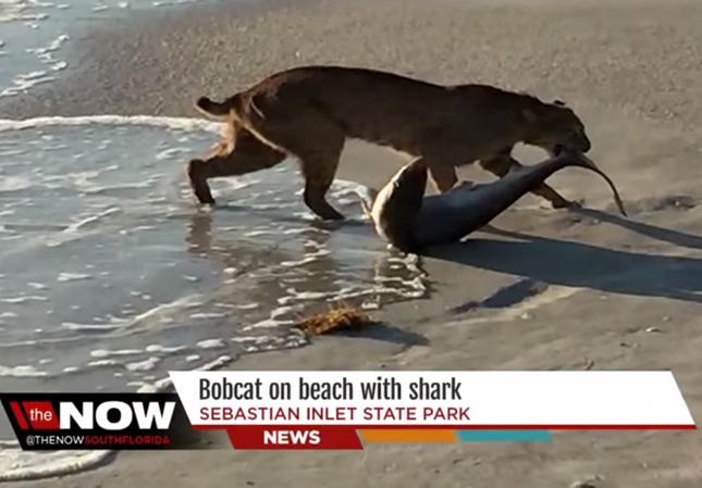 サメを捕獲したヤマネコ!