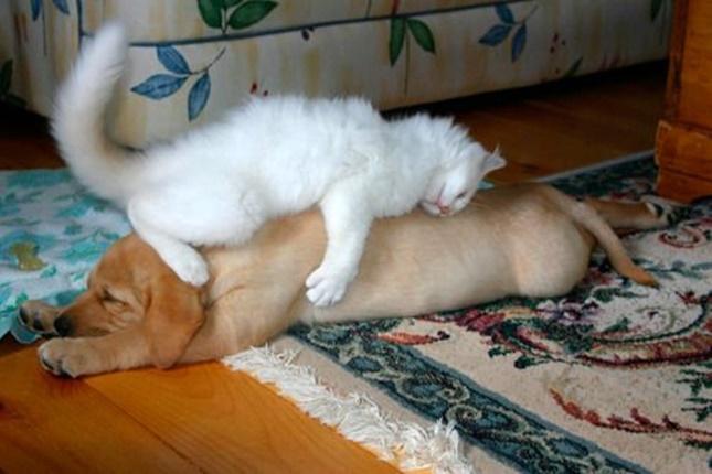 どうしても犬の上で寝たい。
