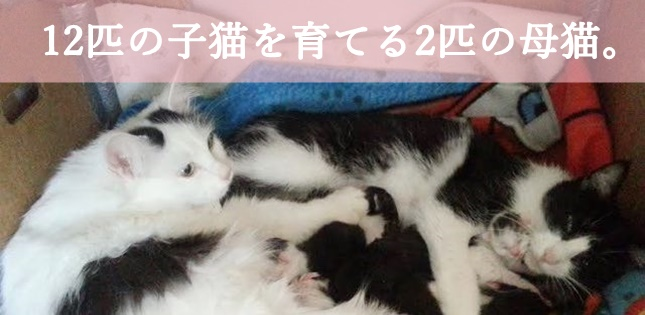 12匹の子猫を育てる2匹の母猫。