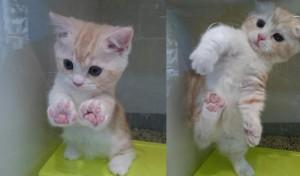 マンチカン子猫。