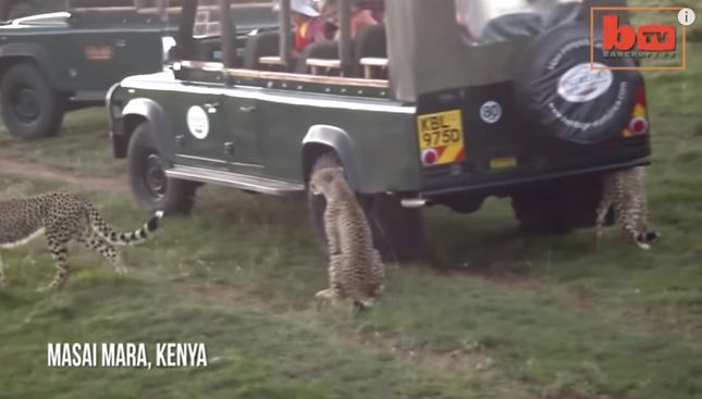 チーターの群れに遭遇、アフリカ凄い!!