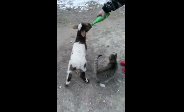 美味しそうに飲む子ヤギ。