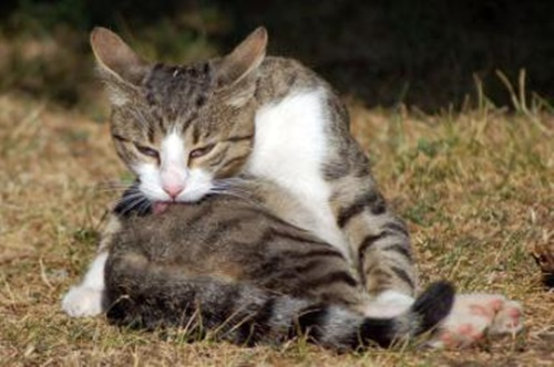 grooming007cat