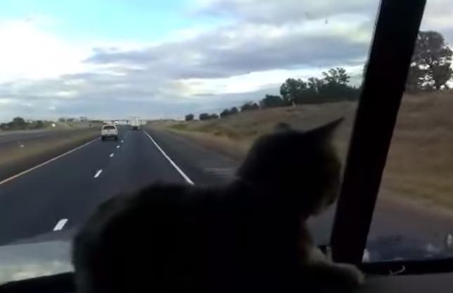 ドライブを楽しむ猫。