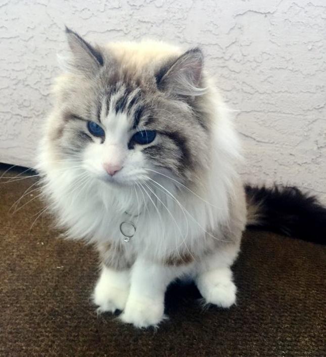 指輪係のTalulaも現在は立派な成猫。