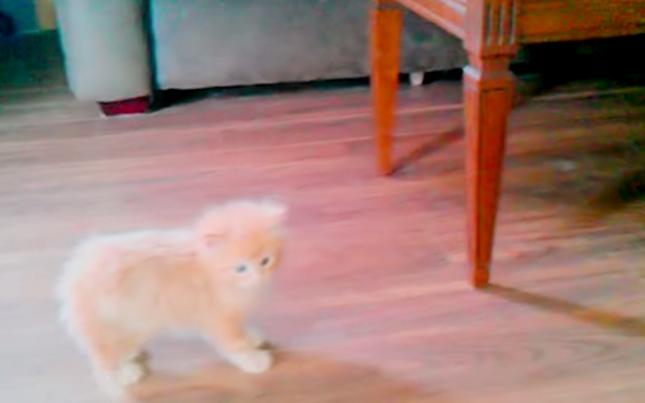 ふわふわ子猫。