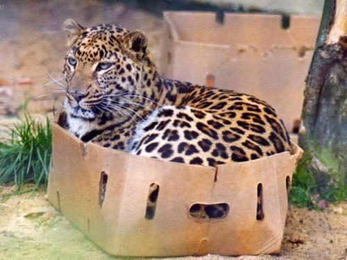 猫科はみんな箱好き?