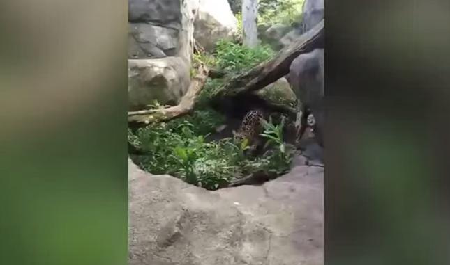 豹の狩猟スイッチがONに。