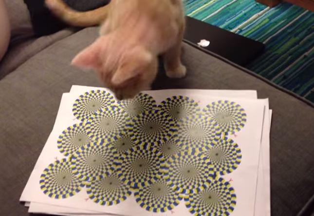 錯視に興味津津な猫。