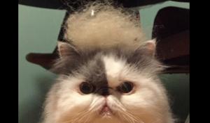 カツラ猫。