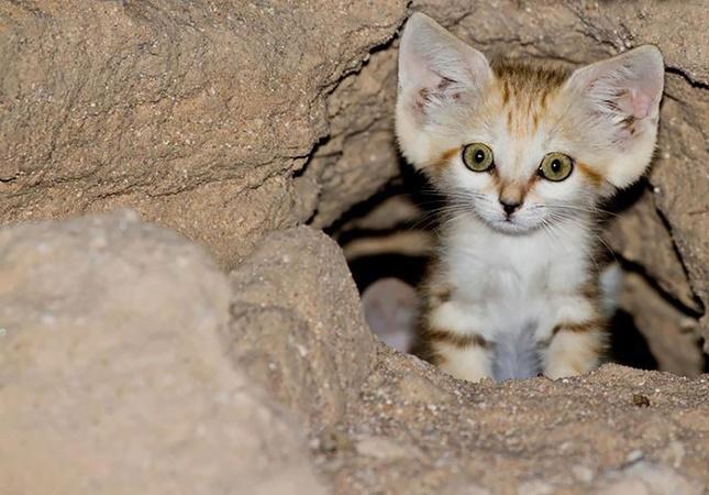 スナネコ子猫。