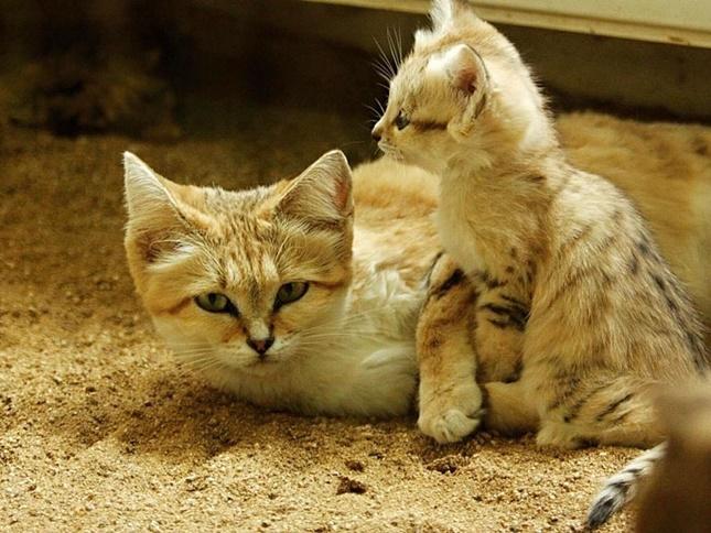 母スナネコと子スナネコ。