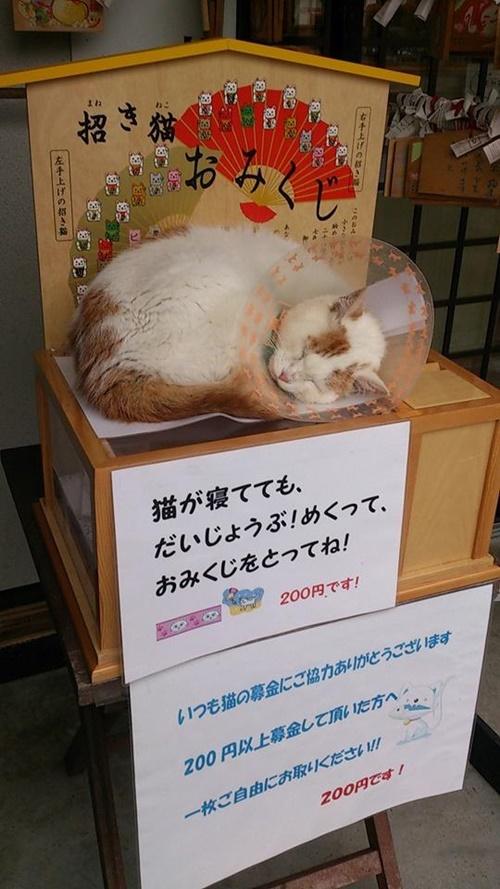 おみくじの上で寝る猫。